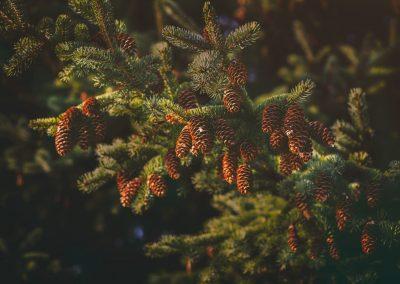 branch-close-up-color-pinecones