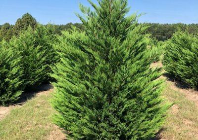 Cupressus x leylandii - Leyland Cypress
