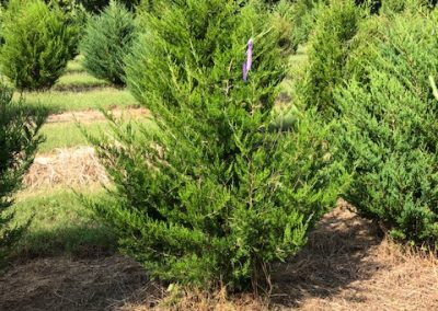Juniper virginiana - Eastern Red Cedar