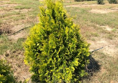 Thuja occ. 'Yellow Ribbon'